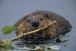 American Beaver (Castor canadensis) young animal munching on alder branches in glacial kettle pond, Denali National Park and Preserve, Alaska  -  Yva Momatiuk & John Eastcott