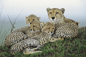 Cheetah (Acinonyx jubatus) adult female, with her cubs resting on termite mound, evening, Masai Mara National Reserve, Kenya - Yva Momatiuk & John Eastcott