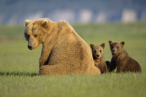 Grizzly Bear (Ursus arctos horribilis) mother with two 4 month old cubs sitting in grass together, Katmai National Park, Alaska  -  Yva Momatiuk & John Eastcott