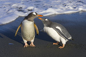 Gentoo Penguin (Pygoscelis papua) chick begging parent for food, on beach, fall, Gold Harbour, South Georgia Island, Southern Ocean, Antarctic Convergence - Yva Momatiuk & John Eastcott