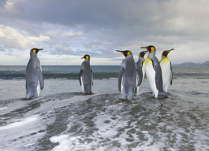 King Penguin (Aptenodytes patagonicus) walking in shallow surf near shore in evening, fall, Gold Harbour, South Georgia Island, Southern Ocean, Antarctic Convergence  -  Yva Momatiuk & John Eastcott