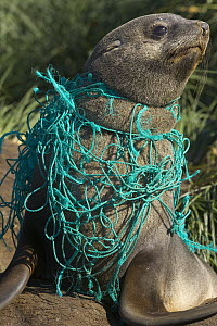 Antarctic Fur Seal (Arctocephalus gazella) young male on beach, entangled in green fishing net, deadly marine debris floating in all oceans, Gold Harbour, South Georgia Island, Southern Ocean, Antarct...  -  Yva Momatiuk & John Eastcott