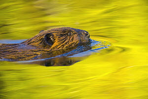 American Beaver (Castor canadensis) a semi-aquatic rodent swimming across calm pond behind beaver dam on mountain river, fall foliage reflectd in water, evening, Denali National Park, Alaska  -  Yva Momatiuk & John Eastcott
