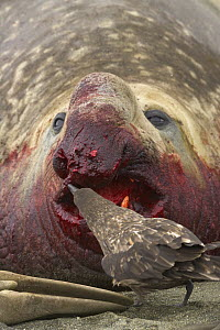 Antarctic Skua (Catharacta antarctica) pecking torn flesh on bloody nose of Southern Elephant Seal (Mirounga leonina) bull wounded during fight for access to females, St. Andrews Bay, South Georgia Is...  -  Yva Momatiuk & John Eastcott
