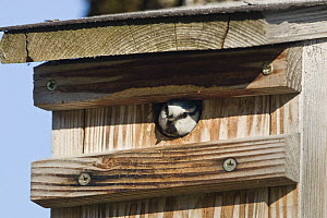 Blue Tit (Cyanistes caeruleus) looking out of nestbox, Germany - Konrad Wothe