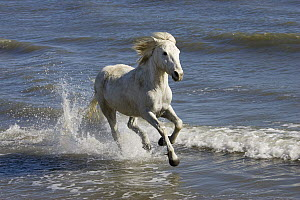 Camargue Horse (Equus caballus) running in water at beach, Camargue, France  -  Konrad Wothe