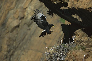 Black Eagle (Aquila verreauxii) bringing twigs to nest, South Africa  -  Richard Du Toit