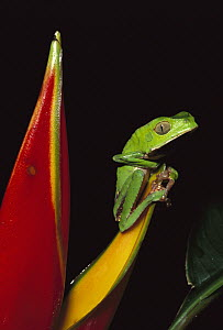 White-lined Leaf Frog (Phyllomedusa vaillanti) on heliconia, Tambopata National Reserve, Peru  -  Kevin Schafer