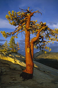 Jeffrey Pine (Pinus jeffreyi) at sunset, Yosemite National Park, California - Kevin Schafer