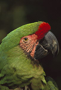 Military Macaw (Ara militaris) portrait, Mexico  -  Kevin Schafer