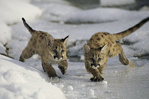 Mountain Lion (Puma concolor) cubs playing in snow, Utah  -  Kevin Schafer