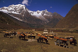 Yak (Bos grunniens mutus) caravan loaded with timber, Nepal - Colin Monteath