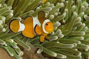 Clown Anemonefish (Amphiprion ocellaris) among stinging tentacles of anemone, Komodo Island, Indonesia  -  Norbert Wu