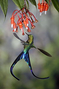 Violet-tailed Sylph (Aglaiocercus coelestis) hummingbird male visiting flowers of epiphytic Heath (Ericaceae), Tandayapa Valley, Andes, Ecuador  -  Michael & Patricia Fogden