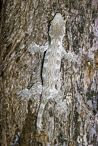 New Caledonian Giant Gecko (Rhacodactylus leachianus) camouflaged on tree trunk, New Caledonia  -  Michael & Patricia Fogden
