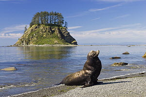 California Sea Lion (Zalophus californianus) at Cape Alava, Olympic National Park, Washington  -  Konrad Wothe