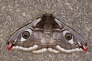 Emperor Moth (Pavonia pavonia) against a wall at night, Saint-Jory-las-Bloux, Dordogne, France  -  Silvia Reiche