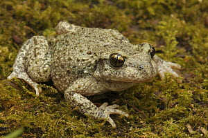 Midwife Toad (Alytes obstetricans) on moss, Saint-Jory-las-Bloux, Dordogne, France  -  Silvia Reiche