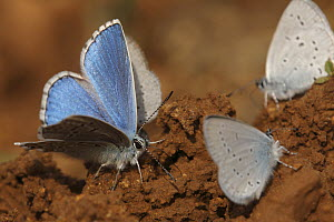 Adonis Blue (Lysandra bellargus) and Little Blue Butterflies (Cupido minimus) drinking from the ground, Saint-Jory-las-Bloux, Dordogne, France  -  Silvia Reiche