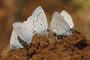 Little Blue Butterfly (Cupido minimus) group drinking from the ground, Saint-Jory-las-Bloux, Dordogne, France  -  Silvia Reiche