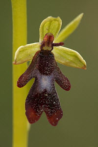 Fly Orchid (Ophrys insectifera) flower, Saint-Jory-las-Bloux, Dordogne, France  -  Silvia Reiche