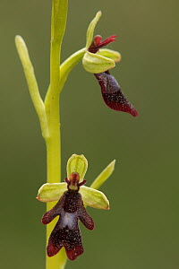 Fly Orchid (Ophrys insectifera) flowers, Saint-Jory-las-Bloux, Dordogne, France  -  Silvia Reiche