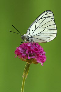Black-veined White (Aporia crataegi) butterfly on Sea Thrift (Armeria maritima), Hoogeloon, Netherlands  -  Silvia Reiche