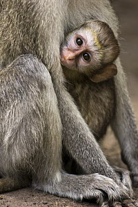 Black-faced Vervet Monkey (Cercopithecus aethiops) baby clinging to mother, Moremi Game Reserve, Okavango Delta, Botswana  -  Vincent Grafhorst
