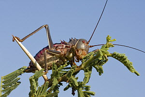 Koringkriek Armored Bush Cricket (Acanthoplus armativentris) on a branch, Gaborone Game Reserve, Botswana  -  Vincent Grafhorst
