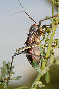 Koringkriek Armored Bush Cricket (Acanthoplus armativentris) on a plant stem, Gaborone Game Reserve, Botswana  -  Vincent Grafhorst