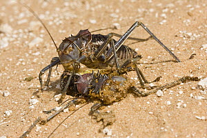 Koringkriek Armored Bush Cricket (Acanthoplus armativentris) feeding on another cricket, Central Kalahari Game Reserve, Botswana  -  Vincent Grafhorst