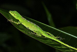 O'Shaughnessy's Anole (Anolis gemmosus) female sleeping on leaf, western slope of the Andes Cloud Forest, Mindo, Ecuador  -  James Christensen