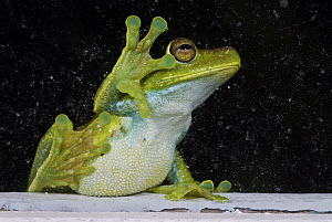 Cloud Forest Tree Frog (Hyla pellucens) against window, feeding on insects, western slope of the Andes Cloud Forest, Mindo, Ecuador - James Christensen