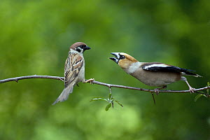 Hawfinch (Coccothraustes coccothraustes) and Eurasian Tree Sparrow (Passer montanus) quarreling, Lower Saxony, Germany - Duncan Usher