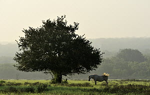 Coast Live Oak (Quercus agrifolia) and horse, Texas  -  Jasper Doest