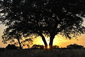 Coast Live Oak (Quercus agrifolia) at sunset, George West, Texas  -  Jasper Doest