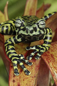 Tiger's Treefrog (Hyloscirtus tigrinus) on bromeliad, new species discovered in 2007, Colombia  -  Thomas Marent