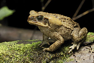 Cane Toad (Bufo marinus) the large swollen parotid glands behind the head of the cane produce a mixture of fourteen different toxins affecting the nervous system of any predator inexperienced enough t...  -  Thomas Marent