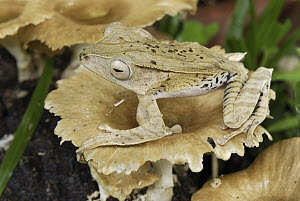 Bornean Eared Frog (Polypedates otilophus) on fungus, Danum Valley Conservation Area, Malaysia - Thomas Marent