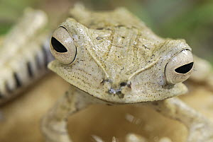 Bornean Eared Frog (Polypedates otilophus), Danum Valley Conservation Area, Malaysia - Thomas Marent