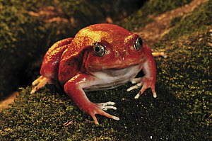 Tomato Frog (Dyscophus antongilii) very rare in nature, only found in the town of Maroantsetra, Madagascar  -  Thomas Marent