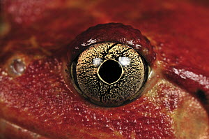 Tomato Frog (Dyscophus antongilii) eye, very rare in nature, only found in the town of Maroantsetra, Madagascar  -  Thomas Marent