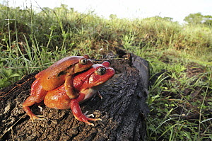 Tomato Frog (Dyscophus antongilii) pair in amplexus, very rare, only found in town of Maroantsetra, Madagascar  -  Thomas Marent