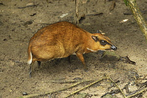 Lesser Malay Mouse Deer (Tragulus javanicus) in rainforest understory, Malaysia - Thomas Marent