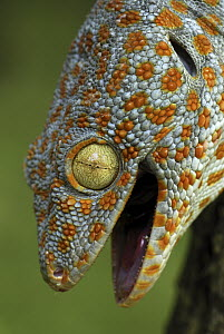 Tokay Gecko (Gekko gecko), in defensive posture, Thailand - Thomas Marent
