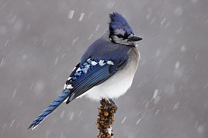 Blue Jay (Cyanocitta cristata) in snow showers, Nova Scotia, Canada - Scott Leslie
