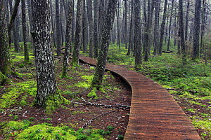 Boardwalk in old-growth forest, Kejimkujik National Park, Nova Scotia, Canada - Scott Leslie