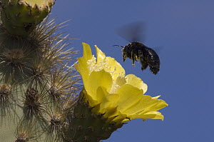 Galapagos Carpenter Bee (Xylocopa darwini) female feeding on cactus flower, Alcedo Volcano, Isabella Island, Galapagos Islands, Ecuador - Pete Oxford