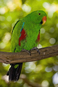 Eclectus Parrot (Eclectus roratus) male, native to Australia and southeast Asia  -  ZSSD