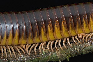 Millipede close up showing body segments and legs, Mamang River Forest Reserve, Ghana  -  Piotr Naskrecki